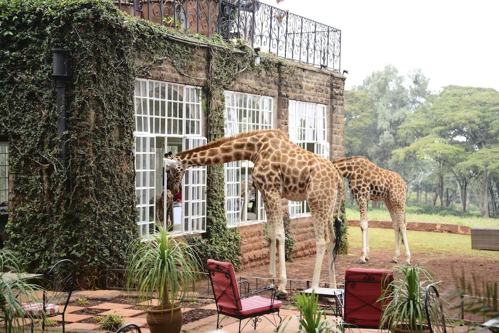 giraffes; giraffe manor; nairobi