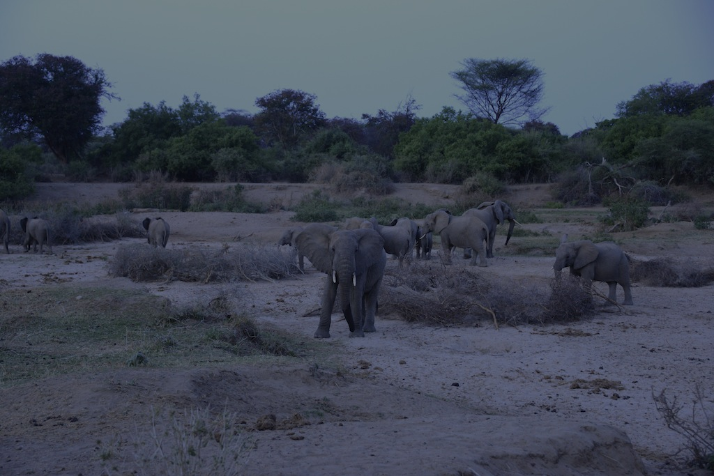 Elephant herds at the wells.
