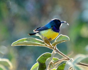 A male Variable sunbird...
