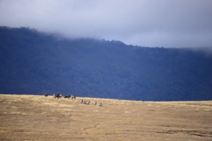 A herd of zebra, diminutive in the distance..