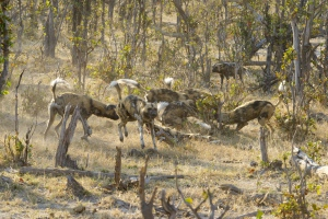 The pack whirled around each other in a greeting frenzy before heading off to hunt.