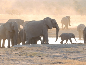 Matriarch and calves at a waterhole