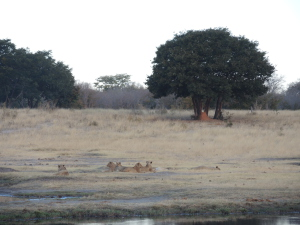 Lolling, replete lions ignored us as we drove by.