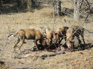 The dogs had killed the impala whilst we had been searching for the leopard