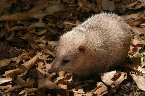 This unique little animal, the Spiny tenrec is confined to Madagascar, foraging on the forest floor at night.
