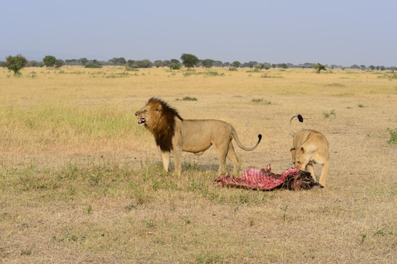 A lion & lioness started feeding, the rest of the pride scattered to find shade and rest. The lion sniffed a patch of urine and is displaying flehmen at this scent.