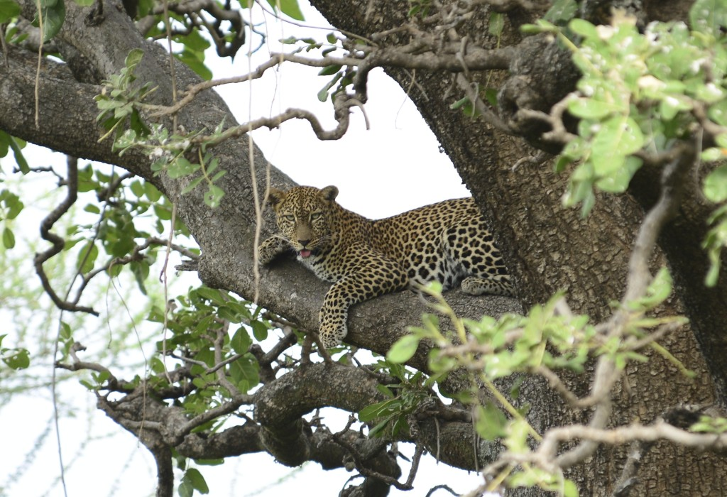 Our first leopard, with a bushbuck kill.