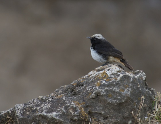 Male bird, of a pair in the crater