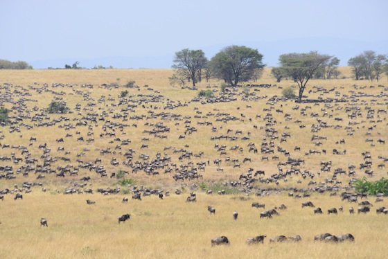 A tiny percentage of the population feeding quietly in northern Serengeti