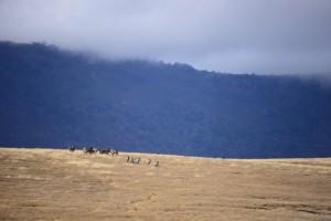 A herd of zebra, diminutive in the distance..