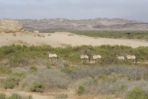 These beautiful handsome antelope are common in most of Namibia.