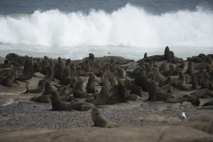 Several thousand seals are found along this coast.