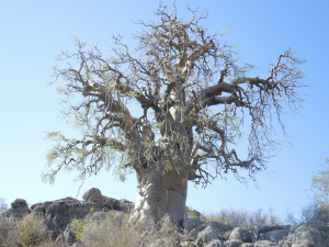 This tree is exceptional in size, and unusually located on rock.