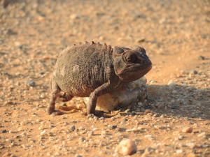 Namaqua chameleon in it's own habitat. The desolate gravel plains of Namibia.