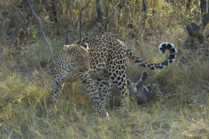 She allowed the cubs to chase and catch her tail.