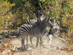 Zebra families were using the remaining pans