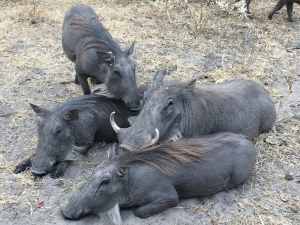 Warthogs rested in the shade of the walkways and the cabins..unafraid of humans