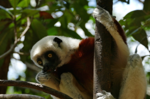 Coquerels' sifaka is a strikingly handsome animal, and we found them in many forests.