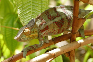Male Panther chameleons change into brilliant colors during the breeding season. This is demure by comparison.