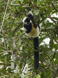 Our first Black & White ruffed lemur.