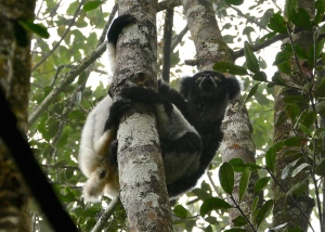The Indri is the most vocal and largest of all lemurs.