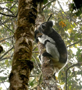 Indri like most large lemurs jump from upright branch to upright branch.