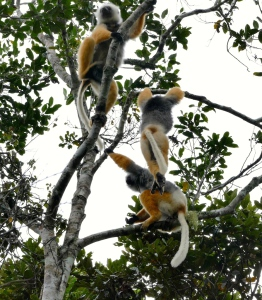 A playful trio of sifaka.